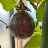 パッションフルーツの育て方|種の植え付けから収穫までの方法は?の画像
