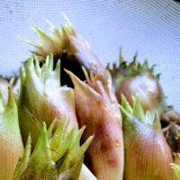 みょうが(茗荷)の育て方|栽培や手入れのコツは?収穫時期、保存方法は?の画像