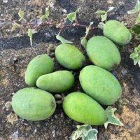 フェイジョアの育て方|鉢植えでの植え替え時期や挿し木の方法は?の画像