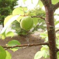 杏(アンズ)の育て方|植え付けや植え替えの時期、増やし方は?の画像