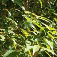 シラカシの育て方|植え付けや剪定の時期、生垣にもできる?の画像
