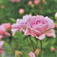 バラ(薔薇)の病気・害虫|各症状や発生原因は?駆除・対策方法はある?の画像
