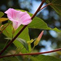 ヒルガオ(昼顔)の育て方|どんな花を咲かせる?開花時期はの画像
