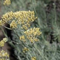カレープラントの育て方|植え方のコツは?どんな花が咲く?の画像