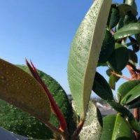 ゴムの木の育て方 剪定や植え替えの時期は?挿し木での増やし方とは?の画像