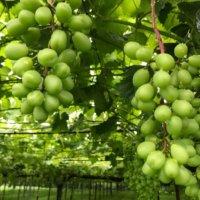 ブドウ(葡萄)の剪定|年数や品種によって方法が違う?結実させるコツは?の画像