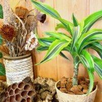 ドラセナの種類|観葉植物で人気の21品種!花は咲く?地植えできる?の画像