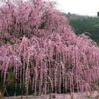 しだれ梅の剪定|地植えと鉢植えで時期が違う?失敗しないコツは?の画像