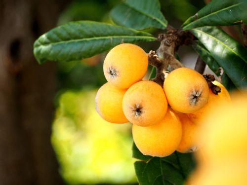 の びわ 育て 木 方 の びわの育て方を知ろう!鉢植えや地植え、剪定の仕方をくわしくご紹介|生活110番ニュース