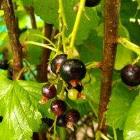 カシス(黒すぐり)の育て方|鉢植えでも栽培できる?収穫や剪定、挿し木の方法は?の画像