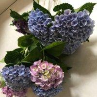 アジサイ(紫陽花)のドライフラワー|失敗しない作り方と飾り方とは?の画像