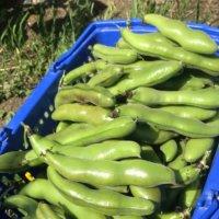 そら豆(空豆)の育て方|植え付けや植え替え、摘芯や挿し木の時期は?の画像