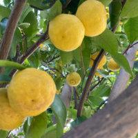柚子(ゆず)の栄養|効果・効能や旬の時期、選び方や保存方法は?の画像