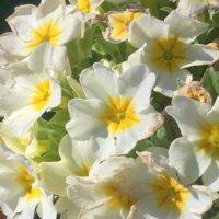 プリムラ・ジュリアンの育て方|植え付け・植え替えの時期、増やし方は?の画像