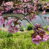 カワヅザクラ(河津桜)とは|見頃の時期や名所はどこ?の画像
