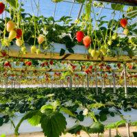 いちごの水耕栽培|ペットボトルでの栽培方法や時期は?の画像