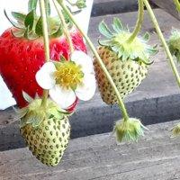 イチゴの栽培・育て方|プランターで育てるコツは?苗の植え方や植える時期は?の画像