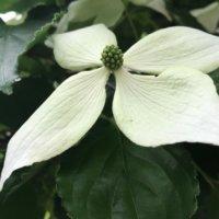 ヤマボウシ(山法師)の育て方|花が咲かない原因は?紅葉させるコツは?の画像