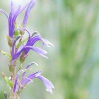 サワギキョウ(宿根ロベリア)の育て方|苗の植え付け時期は?毒に注意?の画像
