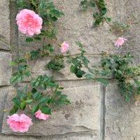 つるバラの育て方|鉢植えでの管理や植え付け時期、挿し木の方法は?の画像