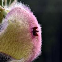 スタペリアの育て方|植え付けや挿し木の時期や方法は?の画像