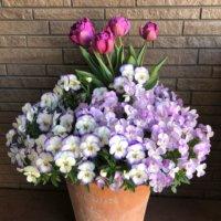 チューリップの寄せ植え|相性の良い組み合わせ、花壇やプランターでの植え方は?の画像