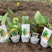 セルバチコの栽培|収獲や植え付けの時期、肥料の与え方は?の画像