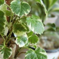 ポリシャスはどんな観葉植物?育て方や花言葉は?風水的にはどこに置くといい?の画像