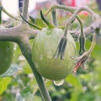 リン酸肥料(P)とは|花肥や実肥と呼ばれる効果は?種類と使い方は?の画像