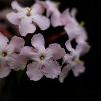 ルクリアの花言葉|花の特徴や開花時期、種類やドライフラワーにおすすめ?の画像