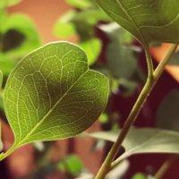 ユーカリ・ポポラスの育て方|剪定の時期やコツは?どんな花が咲く?の画像