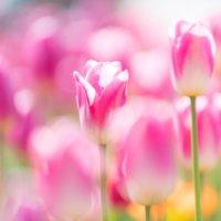 チューリップの種類・品種|それぞれの咲き方や色の特徴は?の画像