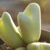 コノフィツムの育て方|植え替え頻度は?しわしわにならない水やりのコツは?の画像