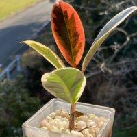 ゴムの木(フィカス)の種類|観葉植物として人気の品種10選!の画像