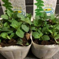 ベランダでハーブ栽培|育てやすい種類は?寄せ植えもできるの?の画像