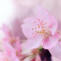 寒桜(カンザクラ)とは|見頃の季節や開花時期、名所はどこ?の画像