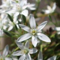 オーニソガラムの育て方|球根を植えるコツは?どんな花が咲く?の画像
