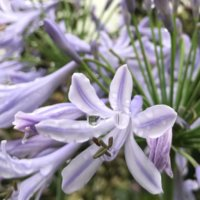 アカンサスの育て方|どんな場所でも育つ?花や葉の特徴は?の画像