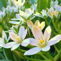 オーニソガラムの花言葉|結婚式にぴったり!花の特徴や品種は?の画像