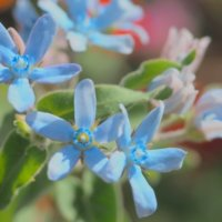 ブルースターの花言葉|品種や花の特徴は?結婚式や花束にも使える?の画像