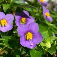 エキザカムの花言葉|愛を伝える花!品種や花の特徴は?の画像