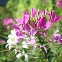 クレオメの花言葉|花の特徴は?どんな種類がある?香りはある?の画像