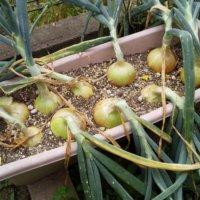 玉ねぎの収穫時期や目安とは?長持ちする保存方法や吊るし方は?の画像