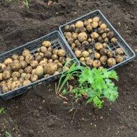 じゃがいもの収穫時期|春や秋の収穫のタイミングや保存の方法は?の画像