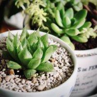 ハオルチアの種類|人気の種類、品種10選を紹介!の画像