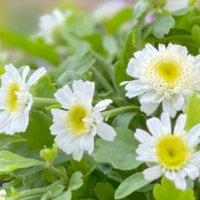 マトリカリアの花言葉|花の特徴や品種は?どんな香りがする?の画像