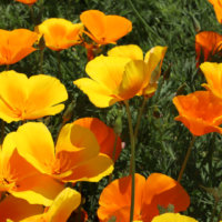 ハナビシソウの育て方|種まきや植え付けの時期や方法は?の画像