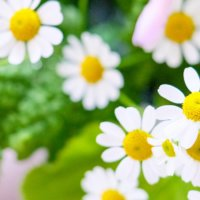 マトリカリアの育て方|苗植えのコツは?花の特徴と香りは?の画像