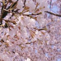 エドヒガン(江戸彼岸桜)とは|見頃の時期や名所、花言葉もある?の画像