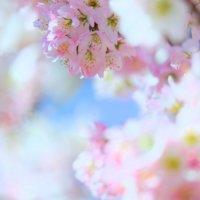 マメザクラ(豆桜)とは|特徴や見頃の時期、名所はどこ?の画像